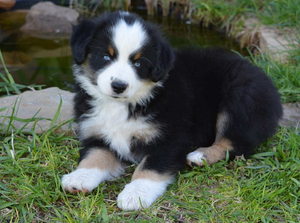 74 Ranch Mini Aussies - MASCA registered Mini Aussie puppies for sale