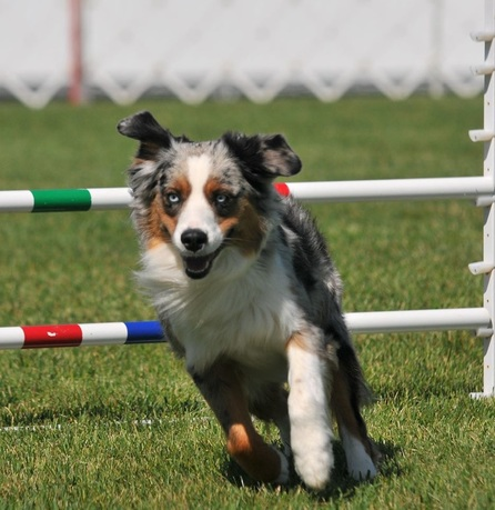 All Mini Aussie colors are strong, clear and rich. The recognized colors are blue merle, red (liver) merle, solid black and solid red (liver) and with or without white markings and/or tan (copper) points with no preference.