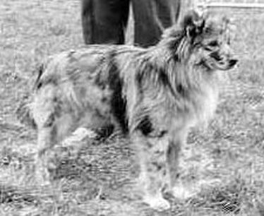 Mini Aussie Breed Standard and History